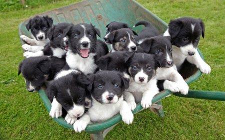 Бордер-колли родила 14 щенят