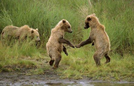 Медвежата-борцы