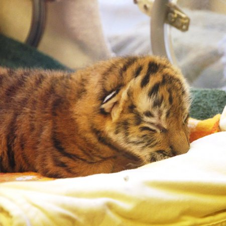 Детеныш амурского тигра из Миннесоты