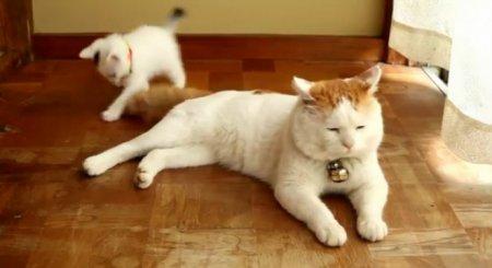 Самый ленивый кот в мире и игривый котенок