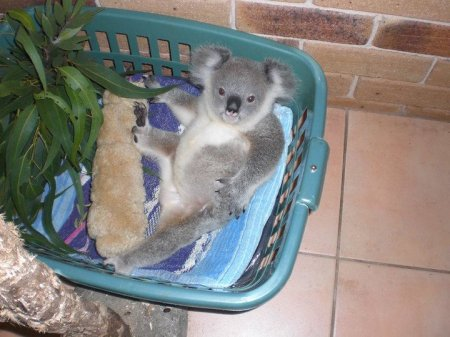 Самый симпатичный коала