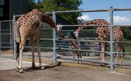 В зоопарке Бристоля родился жирафенок