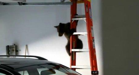 Медведица выломала дверь гаража, чтобы спасти медвежонка