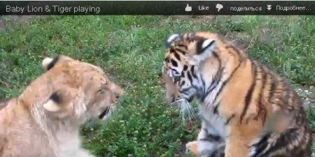 Львенок против тигренка