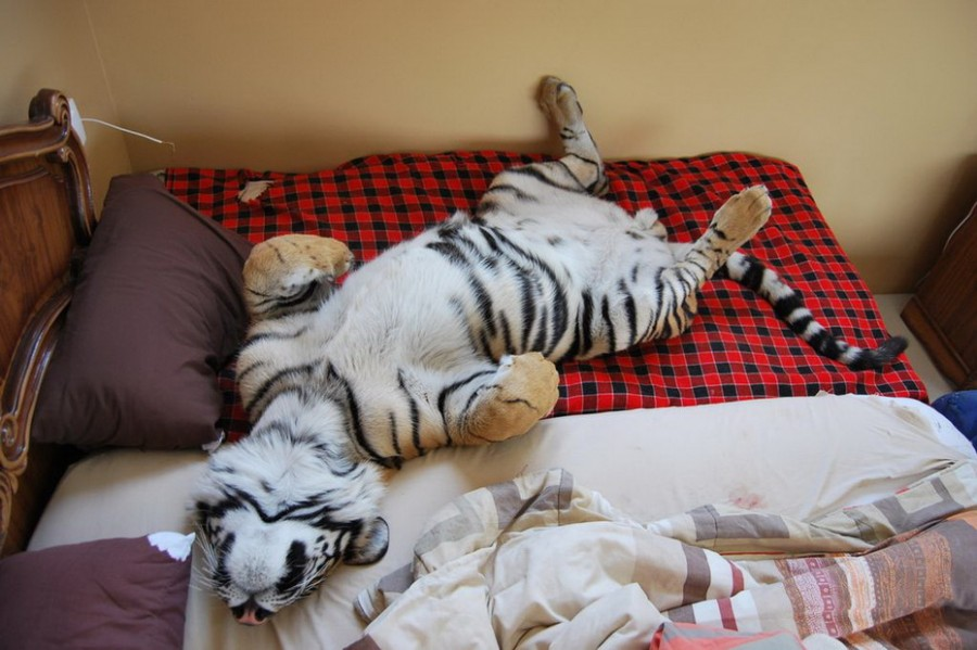1342002437_bengalskiy-tigr-9.jpg
