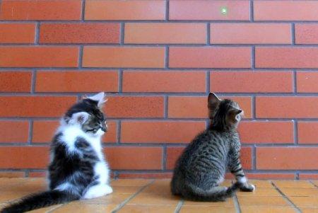 Игривые котята и лазерная указка