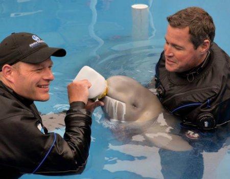 В США спасают детеныша кита-белухи