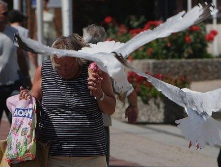 Чайки - воришки!