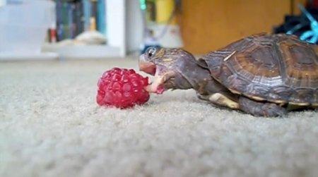 Черепаха лакомится малиной