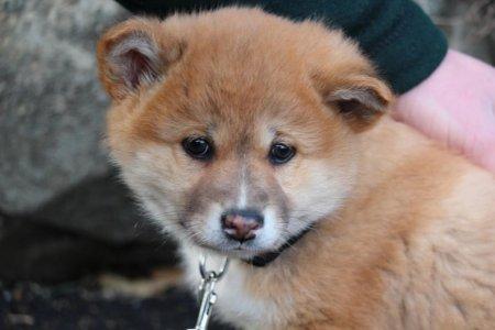 В зоопарк Новой Зеландии привезли щенка динго