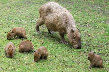 В парижском зоопарке родились маленькие капибары