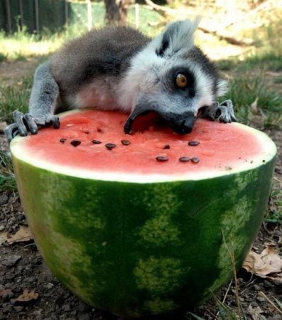 Животные поедают арбуз