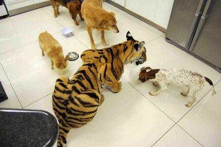 Бенгальский тигр в качестве домашнего питомца