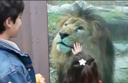 Ласковый и нежный лев