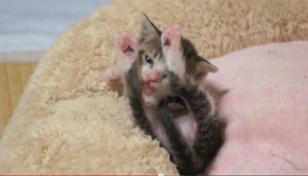 Маленький котенок пытается вылизать самого себя