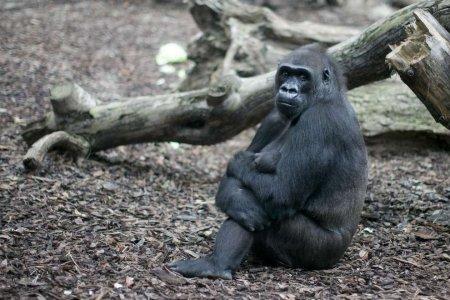 Новорожденный детеныш гориллы