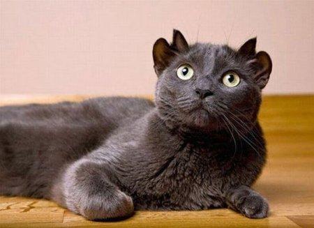 Кот с двумя парами ушей