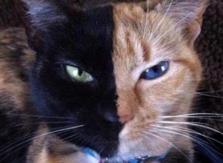 Венера — кошка-химера