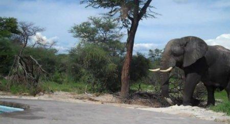 Слон решил попить воды прямо из бассейна