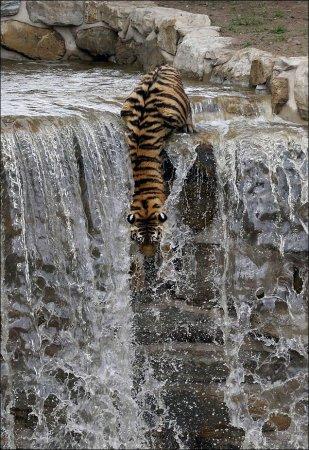 Как тигр спасается от жары