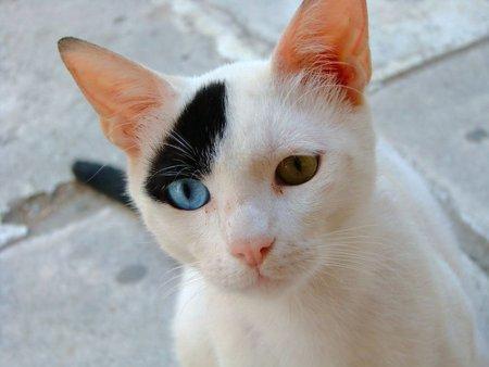 Разноглазые кошки