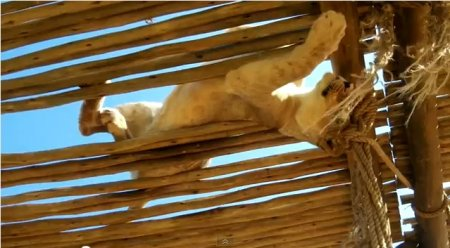 Львица и невероятные трюки