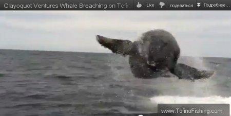 Потрясающий трюк горбатого кита