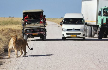Пропустите львенка!