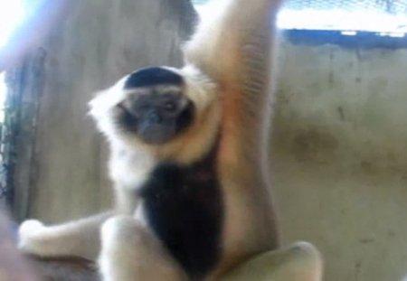 Поющий гиббон из зоопарка Пхукета