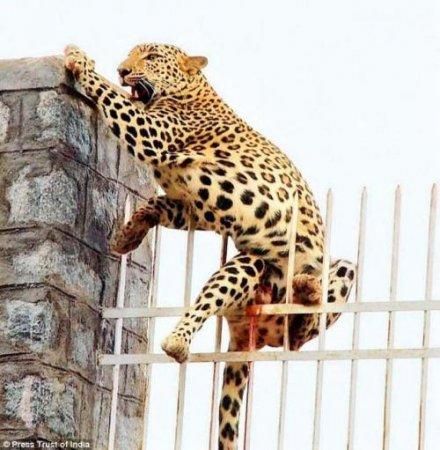 Леопард не смог перепрыгнуть забор