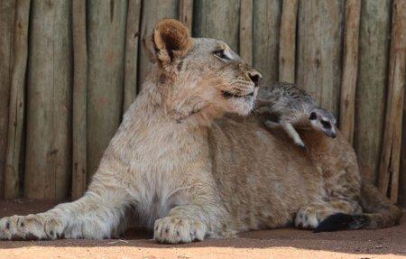 Король Лев и Тимон в реальности