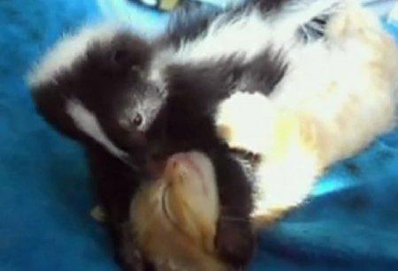 Необычная парочка - котенок и скунсенок