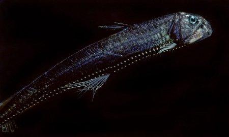 Обитатели неизведанных океанских глубин в фотографиях Дэвида Робела