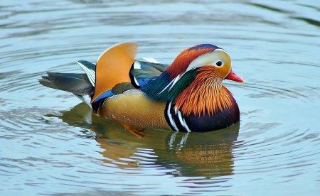 Мандаринка - самая красочная утка в мире