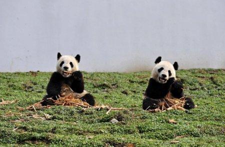 Возращение больших панд домой