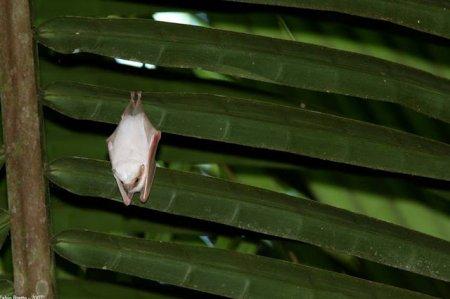 Гондурасские белые летучие мыши