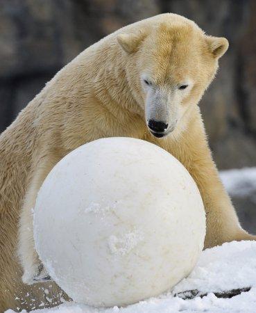 Белый медведь Шпринтер отпраздновал свое пятилетие