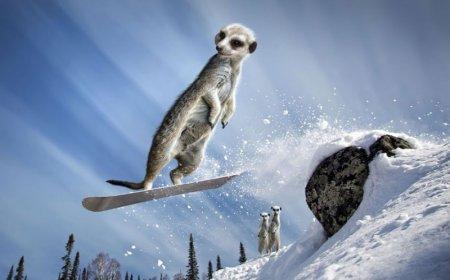 Сурикаты-экстремалы на страницах календаря Maverick Meerkats 2013