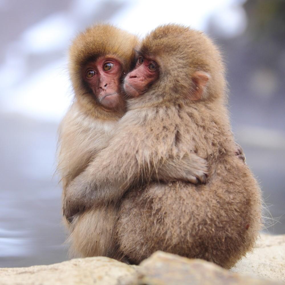 Макаки японского обезьяньего парка в