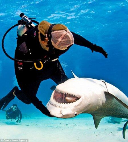 Удивительная дружба человека с тигровыми акулами