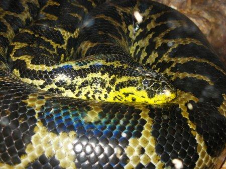 Анаконда – самая крупная змея современности
