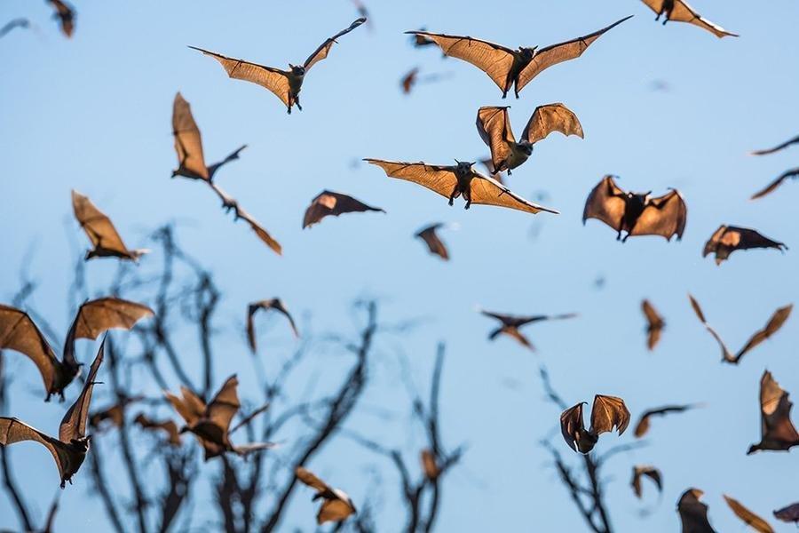 """Африканские """"братья"""" наших летучих мышей. Фото — Уилл Баррард."""