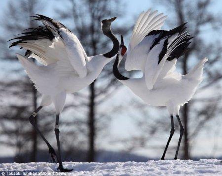 Любовный танец журавлей (3 фото)