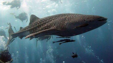 Китовые акулы – крупнейшие в мире рыбы (15 фото)