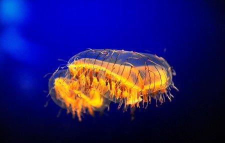 Ядовитая медуза с безобидным названием