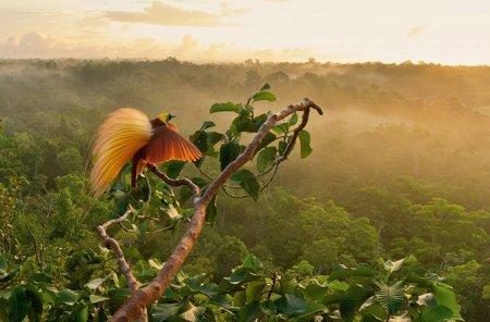 Райские птицы в фотографиях Тима Ламана (18 фото)