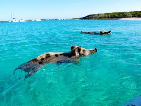 Плавающие свиньи на острове Биг Мэйджор Кэй на Багамах (4 фото + 2 видео)