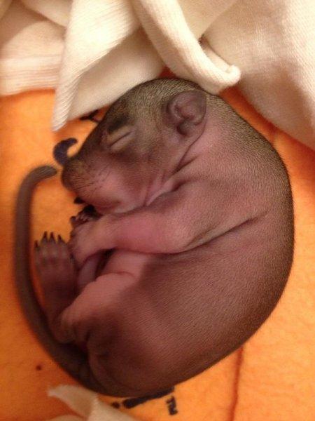 Первый месяц жизни бельчонка (6 фото)