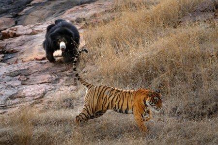 Противостояние двух хищников (8 фото)