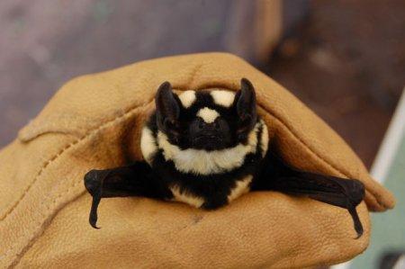 Обнаружен новый род летучих мышей с окраской под панду (4 фото)